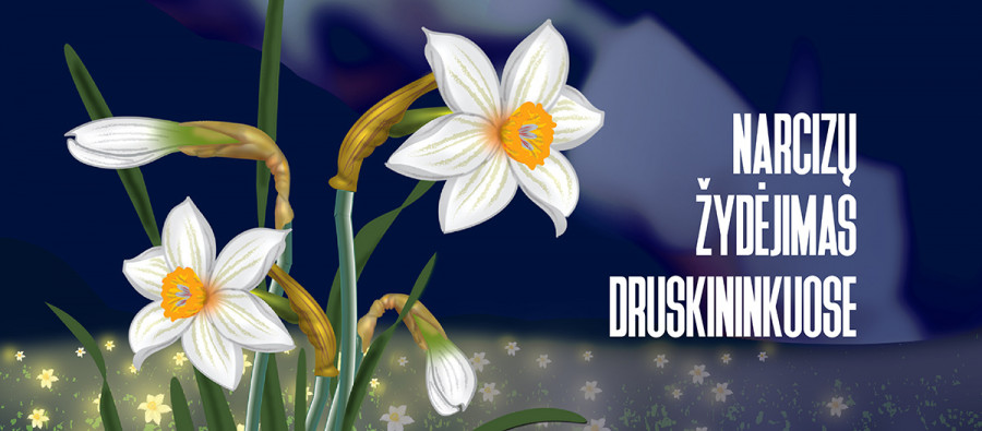 Narcizų žydėjimas Druskininkuose